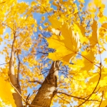Many autumn yellow maple tree leaves in circle over blue sky on sunny October day