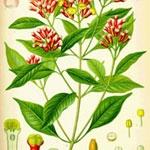 クローブ (Eugenia cariophyllus)