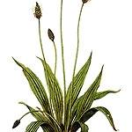 ヘラオオバコ(Plantago lanceolata)